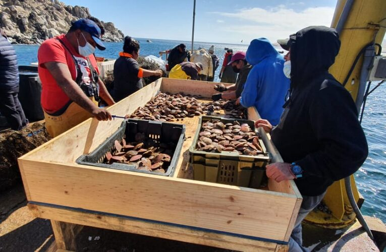 Producidos en ACUYMIN: Primera venta masiva de ostiones y ostras en Caleta Cifuncho